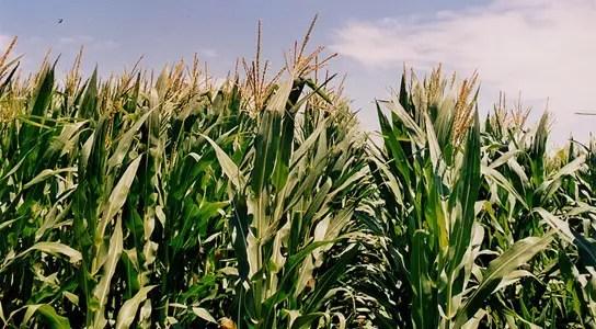 waxy-maize