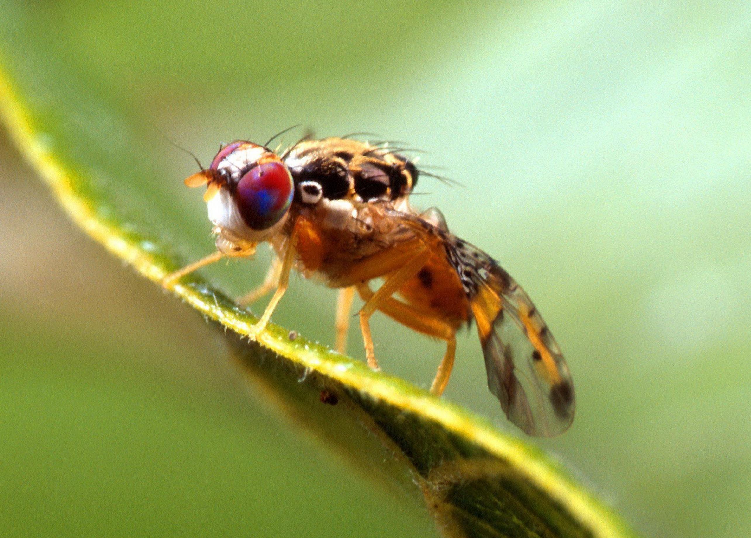 Jumping Genes Drive Evolution In Fruit Flies In Evolution