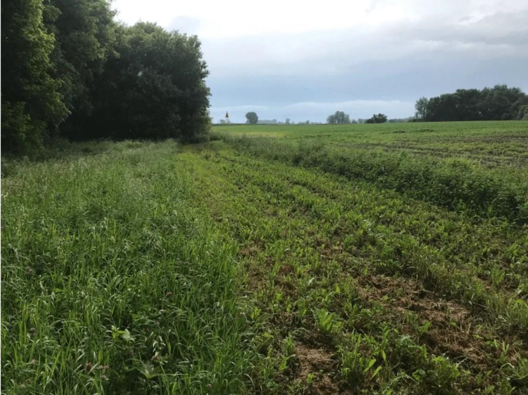 Edge of a farm field, showing a buffer strip