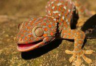 Imagini pentru Şopârlele Gecko