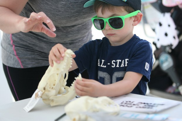 Jonah Evert, 5, looks at a replica of a coyote's skull during the Earth Day Festival at the Bolsa Chica Interpretive Center in Huntington Beach on Saturday, April 22, 2017. (Photo by Ana P. Gutierrez-Garcia, Contributing Photographer)