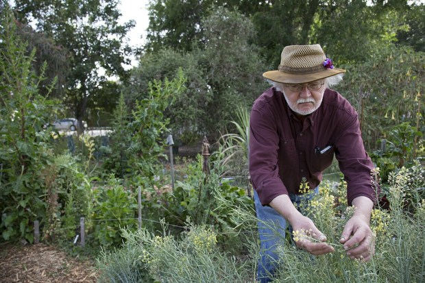 David King, founder of the Seed Library of Los Angeles, checks for seed set on some broccoli plants. The group is expanding, opening a seed library branch in Altadena on Dec. 2, 2017. (Courtesy photo)