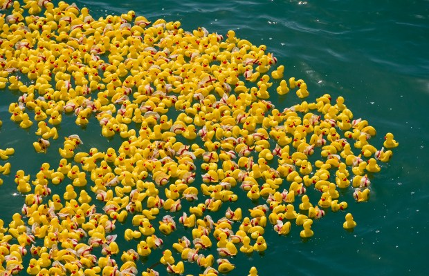 Thousands of plastic ducks make a not-so-mad dash to the beach each year at the annual Duck-a-Thon at the Huntington Beach Pier./PAUL RODRIGUEZ, ORANGE COUNTY REGISTER