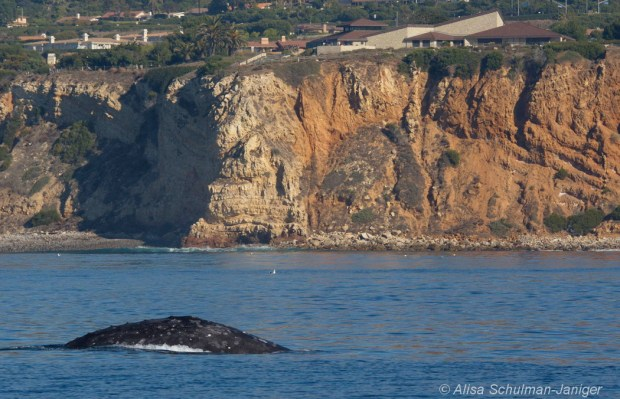 A gray whale breaches in front of Point Vicente on the Palos Verdes Penninsula. Photo taken by Alisa Schulman-Janiger.
