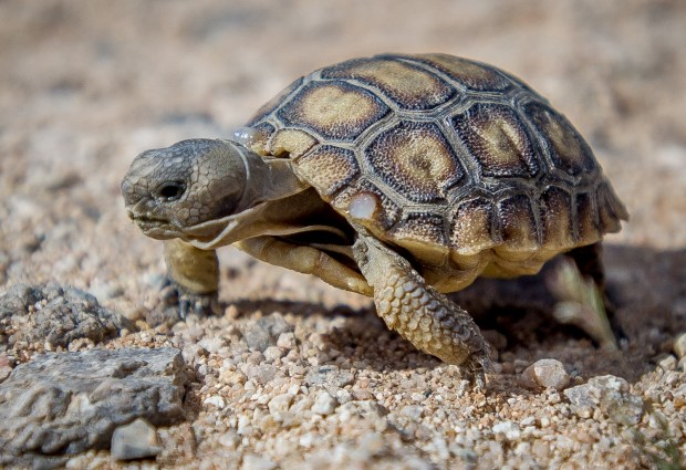 A six-month-old baby Desert Tortoise crawls across the Mojave Desert floor as the U.S. Marines relocate about 1,100 to 1,500 Desert Tortoises from the Bessemer Mine area of Johnson Valley in Twentynine Palms Marine Corps Air Ground Combat Center, Wednesday, April 12, 2017. (Eric Reed/For The Press Enterprise/SCNG)
