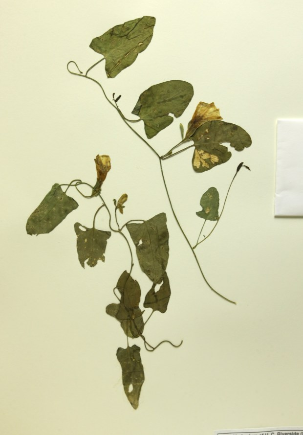 "A ""Calystegia felix"" from the San Bernardino Valley, eastern Chino, filed at the UCR Herbarium on Monday, June 19, 2017. (Stan Lim, The Press-Enterprise/SCNG)"