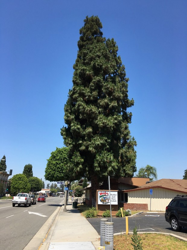Residents rallied at last week's City Council meeting to save three Canary Island pine trees in Old Towne. This wasn't the first time the trees were threatened with removal, but the community has moved to save them each time. (Courtesy of Megan Penn)