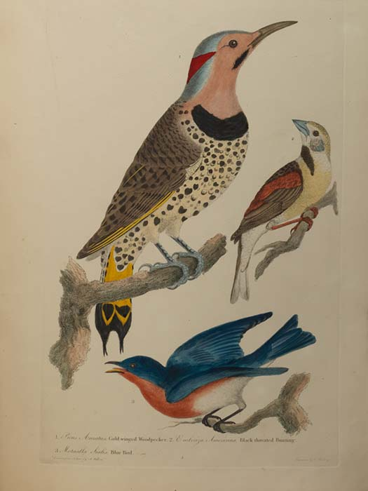 "This plate showing a gold-winged woodpecker, black-throated bunting and bluebird is in Alexander Wilson's ""American Ornithology,"" on display at Cal State Fullerton's Pollak Library. (Photo courtesy of Bradford & Inskeep)"