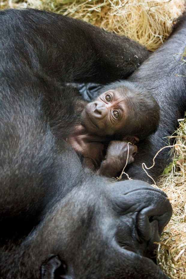 This photo provided by the Philadelphia Zoo shows a newly born western lowland gorilla resting on its mother Kira in Philadelphia.  Kira had a difficult labor that required medical techniques typically used for delivering human babies. Due to concerns about her and the baby's health, the zoo brought in a team from the veterinary and human medical field.  After 1 ½ hours the team delivered the baby, Friday, June 2, 2017, using forceps and episiotomy.  (Philadelphia Zoo via AP) ORG XMIT: NYDK205