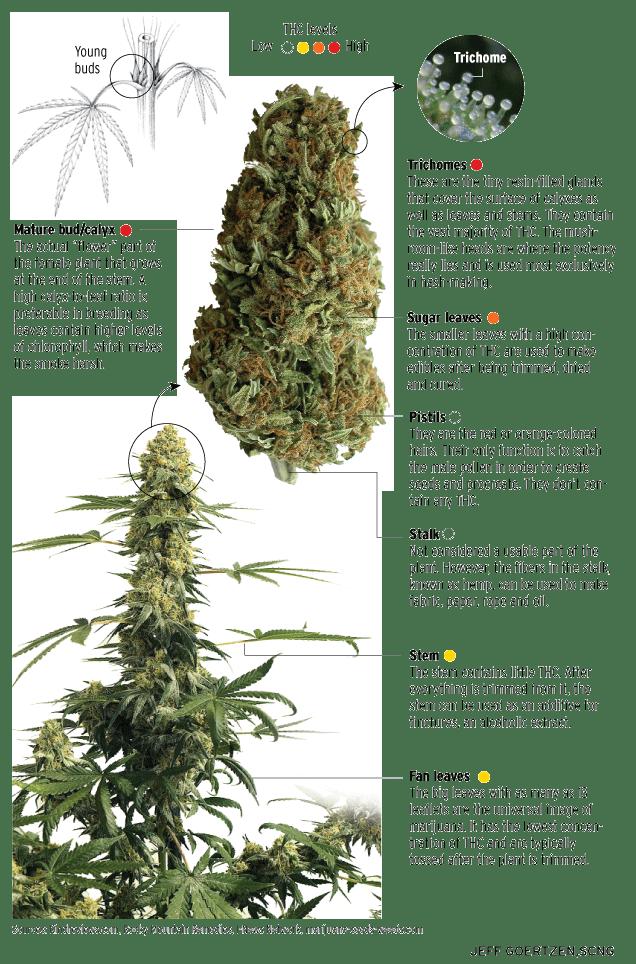 Do you know the anatomy of a marijuana plant? – Orange County Register