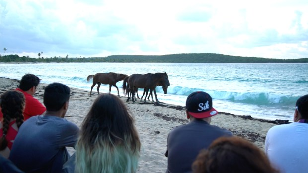 Wild horses walk along the beach just after sunrise on Vieques, Puerto Rico, after the students finished a professional development exercise. (Photo courtesy of Alicia Afshar)