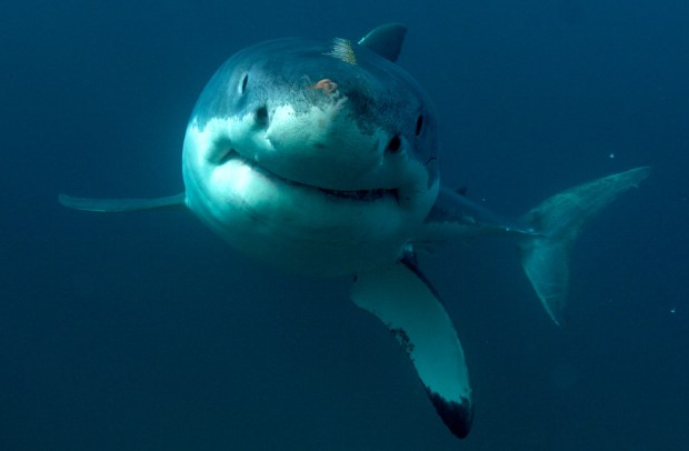 This undated image released by Discovery Channel shows a great white shark. (Discovery Channel via AP)