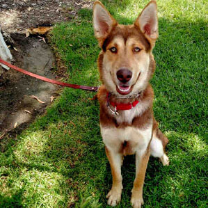 Meet Heath, a 1-year-old Australian Kelpie and Siberian Husky mix. His handlers at the San Clemente/Dana Point Animal Shelter say he has lots of energy to go for long walks or run with a new family. He likes to play and romp around with other dogs his size and play in the shelter's pool. For adoption info, visit Heath at 221 Avenida Fabricante, San Clemente or call 949-492-1617. (Courtesy of animal shelter)