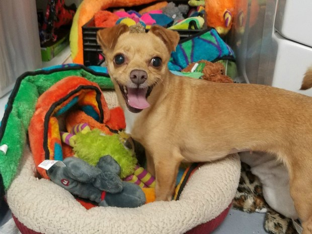 As you can see, Buttercup just loves toys and will steal them all for herself. She is the class clown who loves to play. She's very friendly, gets along with other dogs, is spayed and weighs 10 pounds. She's a Chihuahua mix. Contact New Beginnings for Animals at greatpets.org or info@greatpets.org.