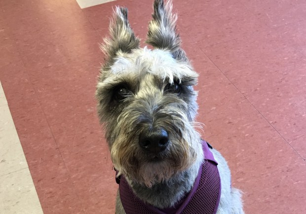Frederick is a 6-year-old, neutered schnauzer. He weighs 22 pounds and is house-trained. He's friendly and sweet and gets along with other dogs. Contact New Beginnings for Animals at greatpets.org or info@greatpets.org.