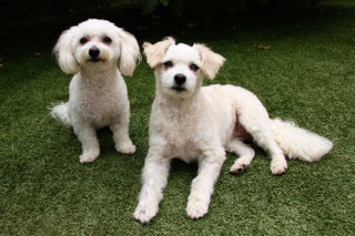 "Higgins, left, and Lily are a bonded pair of pups looking for a home together. ""Mini bichon frise"" Higgins is 5 and weighs 9 pounds. Lily, a mix, is 4 and weighs 15 pounds. They were adored family members whose human guardians passed away within months of each other. They are loving and like car rides and walks. Contact Marti with Bichon FurKids Rescue at marti@bichonfurkids.org or go to bichonfurkids.org for more information."