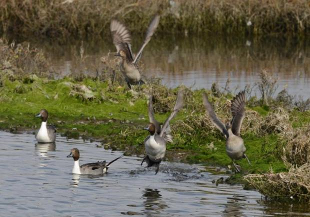 A small flock of Pintail take off from a berm in the Bolsa Chica Wetlands. Amigos de Bolsa Chica docents offer nature walks in the wetlands on the last Saturday of every month. (Photo by Sam Gangwer, Orange County Register/scng.com)