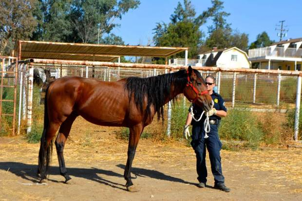 Riverside County Animal Service officers seized 14 underweight horses from a Nuevo property owner investigated for animal neglect last year.