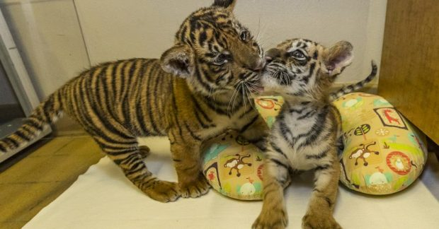 Two tiger cubs, including one that a Perris man is accused of trying to smuggle into the United States from Mexico, have become friends at the San Diego Zoo Safari Park. (Photo courtesy of San Diego Zoo)