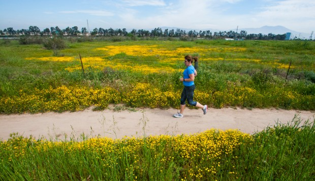 A jogger runs through a section of wildflowers on the Quail Hill Trail in Irvine earlier this year. (Photo by Sam Gangwer, Orange County Register/SCNG)