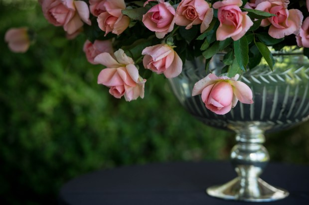 The Dr. Jane Goodall Rose is unveiled on Tuesday, Oct. 10, 2017 at the Tournament House in Pasadena. A portion of sales for the Jackson & Perkins rose will benefit the work of the Jane Goodall Institute. (Photo by Sarah Reingewirtz, Pasadena Star-News/SCNG)