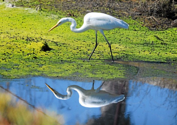 A Great Egret searches for a meal in an inlet next to the San Gabriel River in the Los Cerritos Wetlands. Environmentalists are suing the city of Long Beach over a new specific plan that would allow increased development near the coastal sensitive habitat. (Photo by Stephen Carr / Daily Breeze)