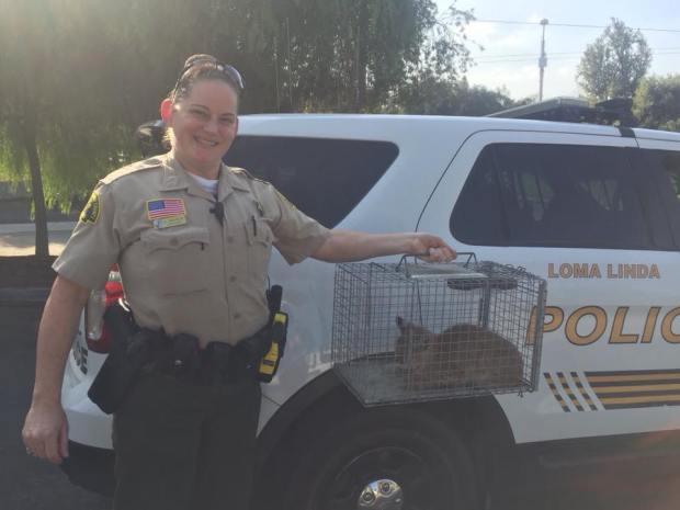 San Bernardino County sheriff's Deputy Mitchell and Loma Linda Animal Control captured a bobkitten in a Loma Linda orange grove on Wednesday, Nov. 1. Courtesy of San Bernardino County Sheriff's Department