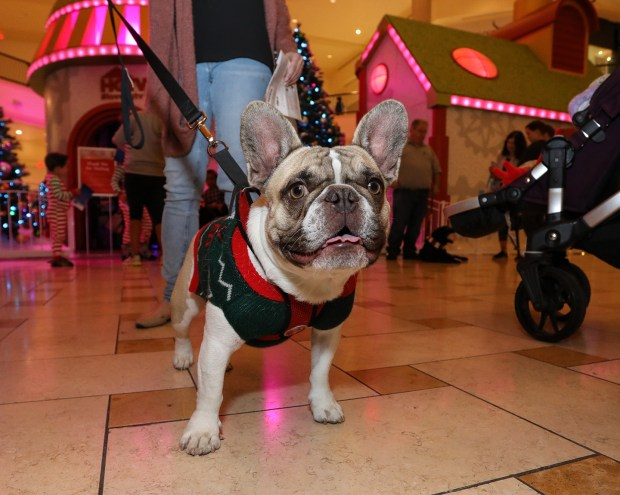 A dog waits its turn with Santa Claus at HGTV's popular Santa HQ experience at The Oaks in Thousand Oaks. (Courtesy of The Oaks)