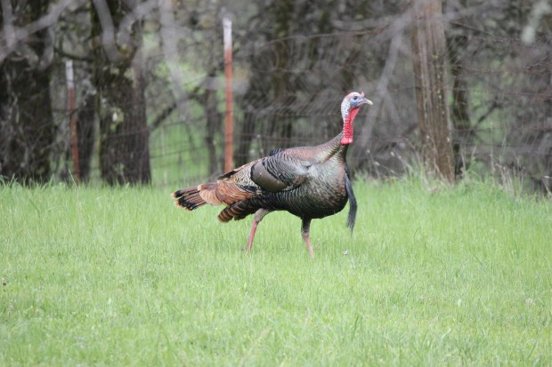 Wild turkeys number more than 250,000 in California. The males, called toms, display colorful feathers usually during mating season. (Photo by Kevin Vella/Courtesy National Wild Turkey Federation).