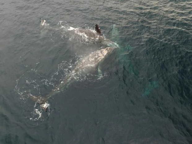 Gray whales caught in the act, mating off the coast of Newport on Sunday.