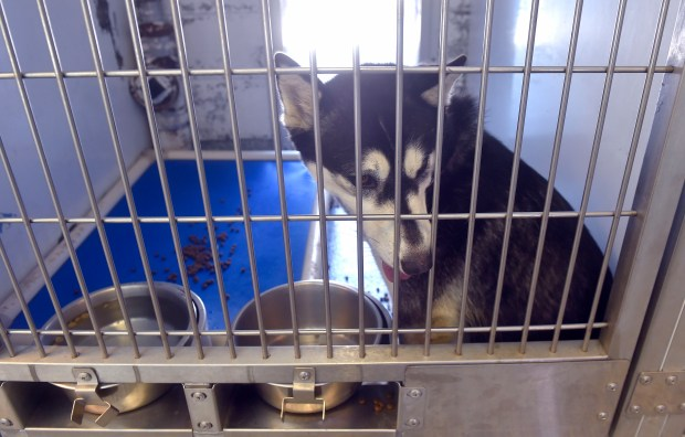 A husky, who was picked up as a stray on July 3 near Del Amo and Pacific, waits to be claimed by its owner at the Long Beach Animal Care Services on Thursday, July 7, 2016. An analysis of the first phase of an audit into Long BeachÕs handling of animal adoptions is ready. (Photo by Scott Varley, Press Telegram)