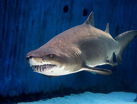 At Aquarium of the Pacific's free Shark Lagoon Nights, the public is invited to get up close and personal with the ocean's ultimate predators. Guests will be able to touch bamboo sharks and see large sharks such as sand tigers (pictured). (Photo courtesy Aquarium of the Pacific)