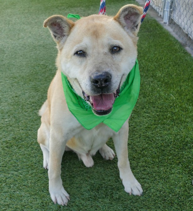 Sam, a very sweet seven year-old male Akita mix is available for adoption at the Hawthorne spcaLA. ID# 18-02572 Photo by Robert Casillas, Daily Breeze/SCNG