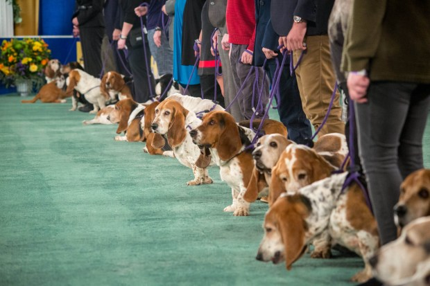 "A pack of basset hounds vie in the -- what else? -- Best Basset Hound category, one of 10 featured on the ""2018 American Rescue Dog Show."" (Courtesy of Hallmark Channel)"