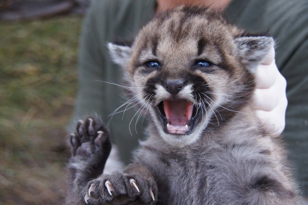 P-23 is seen as a kitten in 2012. (Courtesy of the National Park Service)