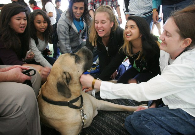 Titan, three-year-old male mastiff and therapy dog belonging to Carole Autler of Riverside, is petted by 28-year-old UCR graduate student Cori Knight, far right, of Riverside. To help UCR students deal with the stress of upcoming final exams, the WELL at UCR hosted the Therapy Fluffies event, event, which allowed stressed-out students to spend some quality time with a therapy dog. The dogs were provided by the Inland Empire Pet Partners, a service program of the Delta Society. (File photo by David Bauman, Press-Enterprise/SCNG)