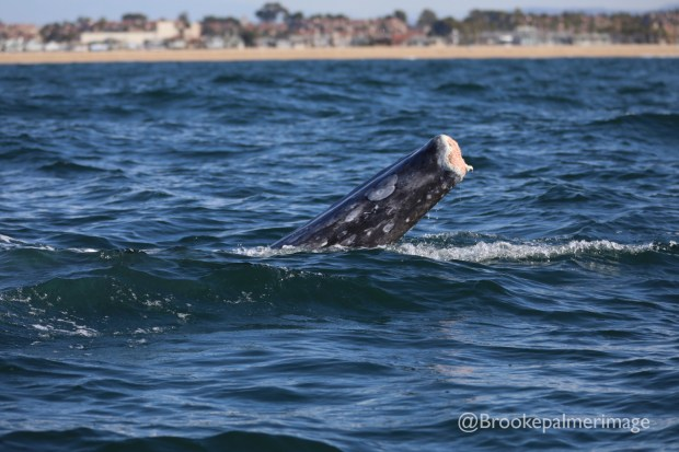 A whale missing part of its tail was spotted off of Newport Beach on Wednesday. Photo: Brookepalmerimage