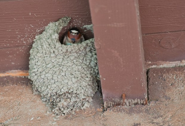 A swallow peaks out of its mud nest at Mission San Juan Capistrano on Saturday, May 13, 2017, where swallows are returning after being absent for several years.Photo By Jeff Antenore, Contributing Photographer