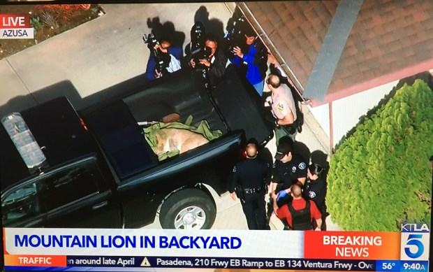 A tranquilized mountain lion is placed into the back of a pickup truck in an Azusa neighborhood on Monday, March 26, 2018. (Photo KTLA)