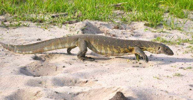 A monitor lizard is seen in a photo by Martijn Munneke. (Image reproduced under the CC-BY-2.0 Creative Commons license)