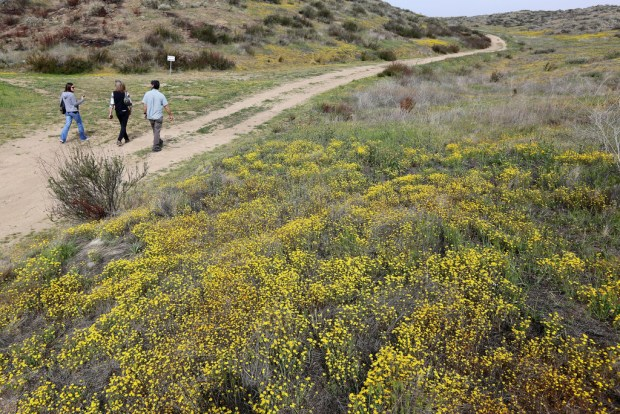 Carpets of yellow California goldfields were emerging along the Wildflower Trail at Diamond Valley Lake near Hemet on Wednesday, April 4, 2018. (Photo by Frank Bellino, Contributing Photographer)