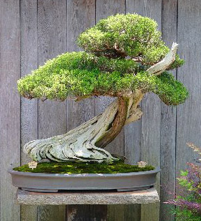 Learn how to create your own bonsai in a class at the Fullerton Arboretum. (Maureen Gilmer/Scripps Howard News Service)