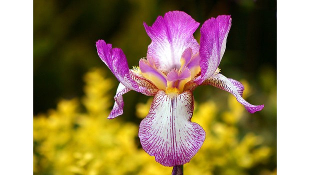 The San Fernando Valley Iris Society holds a show and sale on April 7 in Canoga Park. (Public domain/Creative Commons Attribution-Share Alike 3.0 Unported)