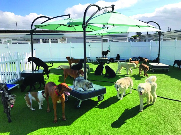 Dogs enjoy a sunny afternoon socializing at doggie day care.