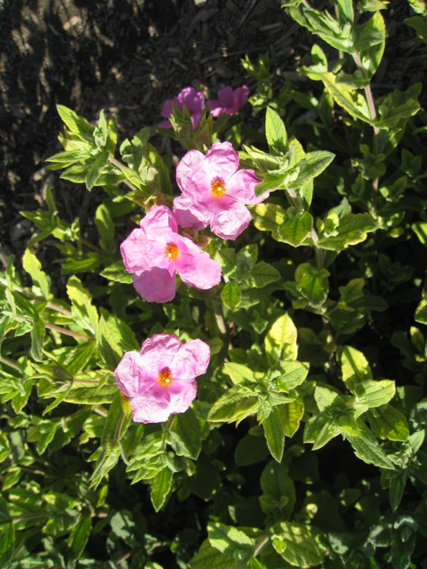 "Depending upon the species, rockrose blooms from late spring through summer with a multitude of inch flowers. These evergreen shrubs perform well in hot sunny locations and are quite drought tolerant once they are established. (Photo by Ottillia ""Toots"" Bier)"
