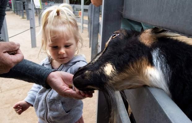 Creedence Mae Pehanich, de 2 años, alimenta una cabra en el área de The Farm en el Zoológico de Santa Ana el miércoles 2 de mayo de 2018. El zoológico está planeando actualizar las exhibiciones y agregar nuevos animales. (Foto por Paul Bersebach, Orange County Register / SCNG)