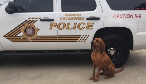 San Bernardino County sheriff's K-9 Dare (Courtesy photo)