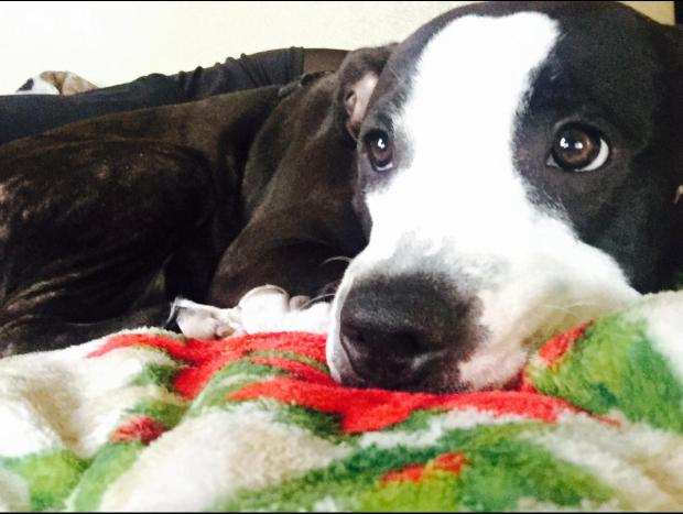 A pit Bbull named Devo was killed after attacking a neighbors poodle in Riverside on Saturday, Dec. 24, 2016. (Courtesy)