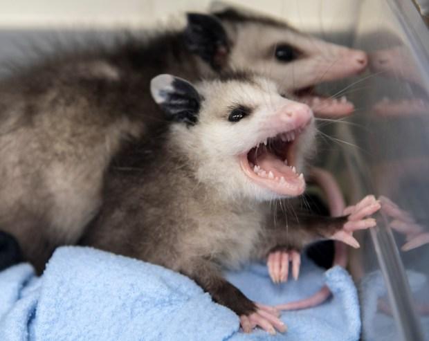 Typhus fever's wild threat? The rat-faced opossum, named in