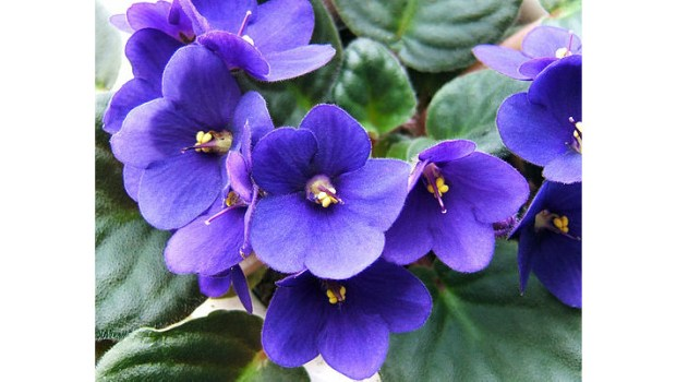 An African violet, Saintpaulia ionantha. The Burbank African Violet Society meets on May 17. (Photo public domain/Creative Commons Attribution-Share Alike 3.0 Unported, 2.5 Generic and 1.0 Generic)